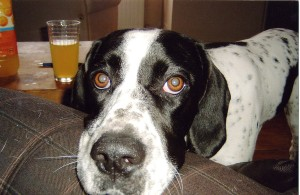 Megan (an English Pointer)